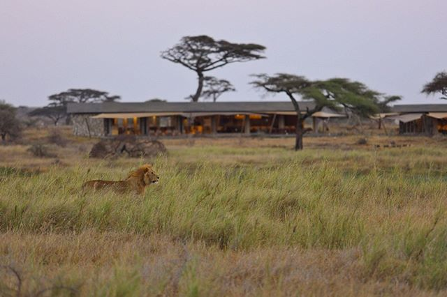 Find your Lion King at Namiri Plains. Located in a prime position overlooking a permanent water source, the wildlife experience here remains exceptional. This region of the Serengeti National Park was previously closed for big-cat research for 20 years, however today it remains a very special corner of the park for guests. Time to get involved!