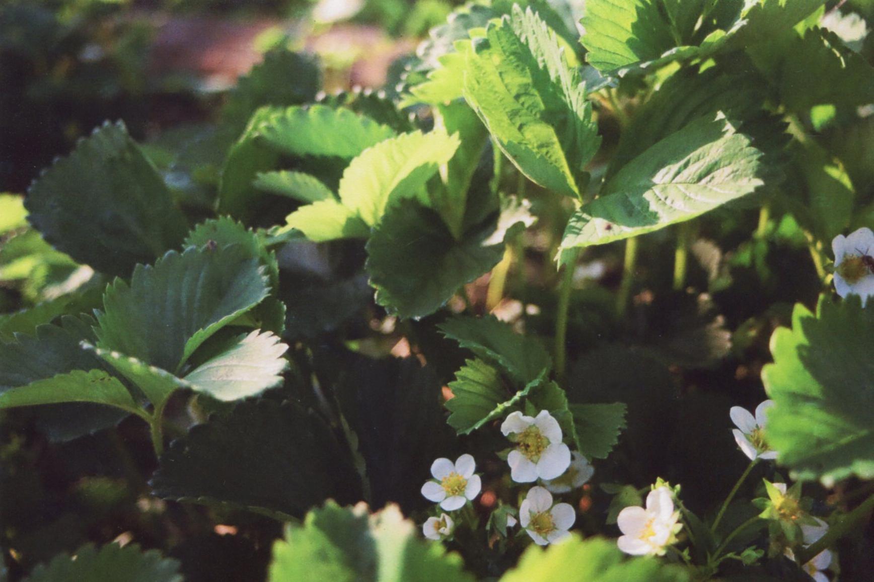 Strawb Flowers.jpg
