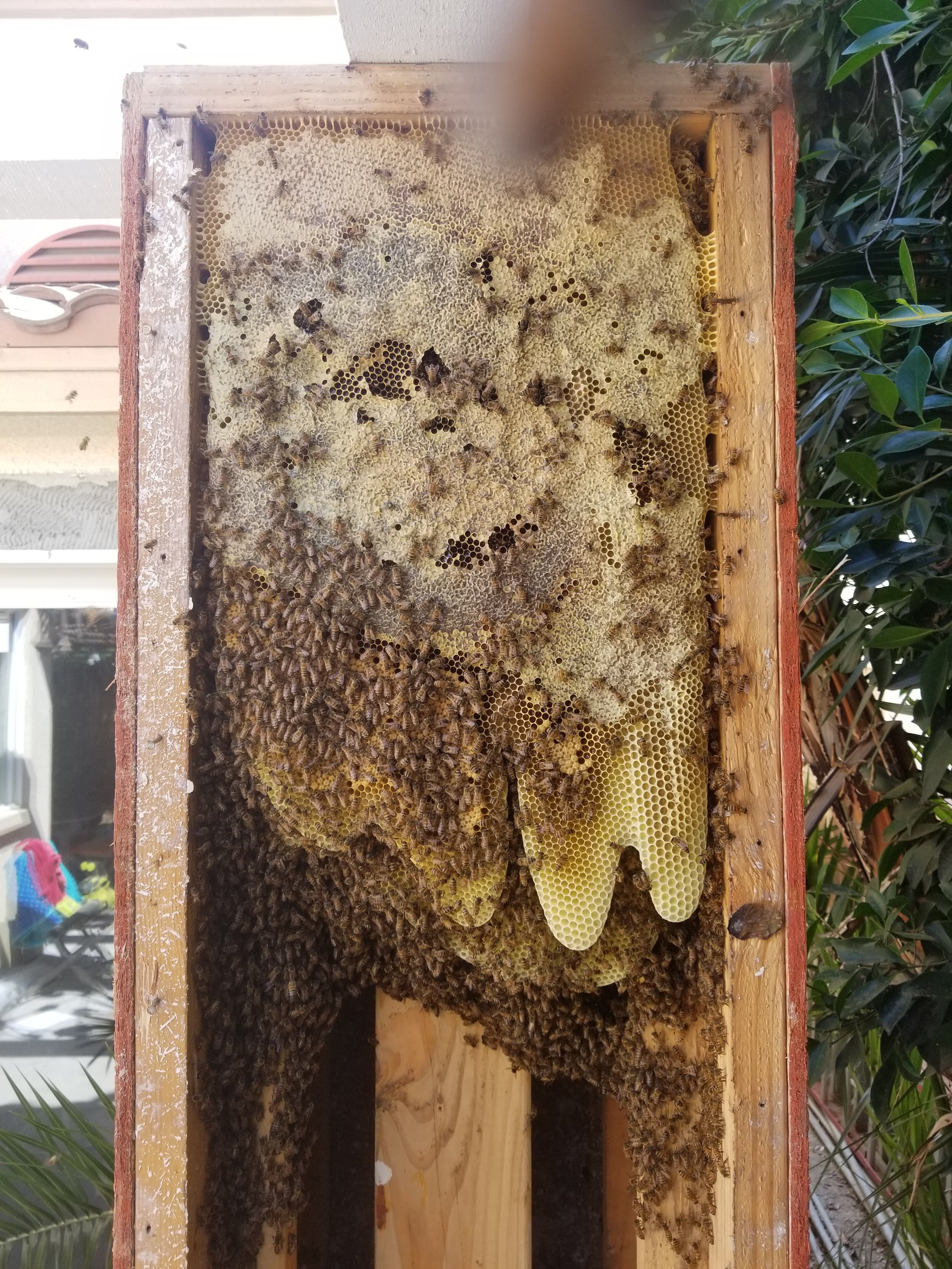 BEE REMOVAL — Sunshine Honey and Bee Removal