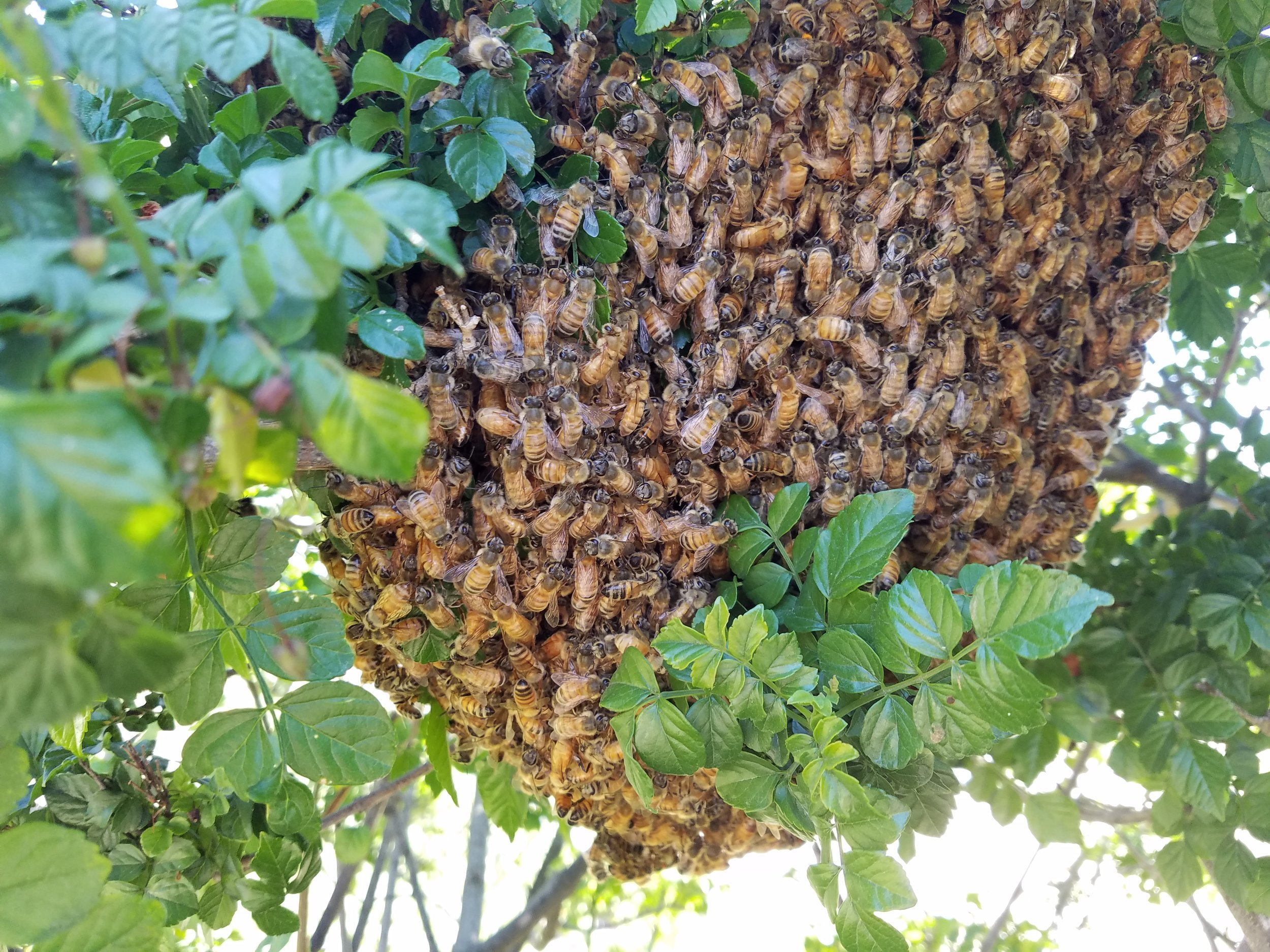 Honey Bees Swarm In Tree