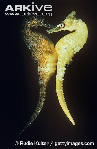 White's seahorse female transferring eggs to male. Photo via ARKIVE.org, (c) Rudie Kuiter/ gettyimages.com.
