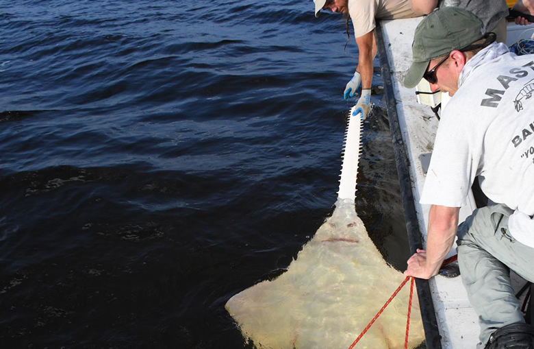 Researchers at FSU secure a sawfish for tagging. Photo Credit:  FSU Coastal and Marine Lab.