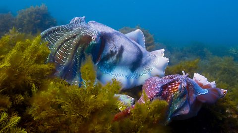 Giant cuttlefish by Blue Planet II blog on  BCC One .
