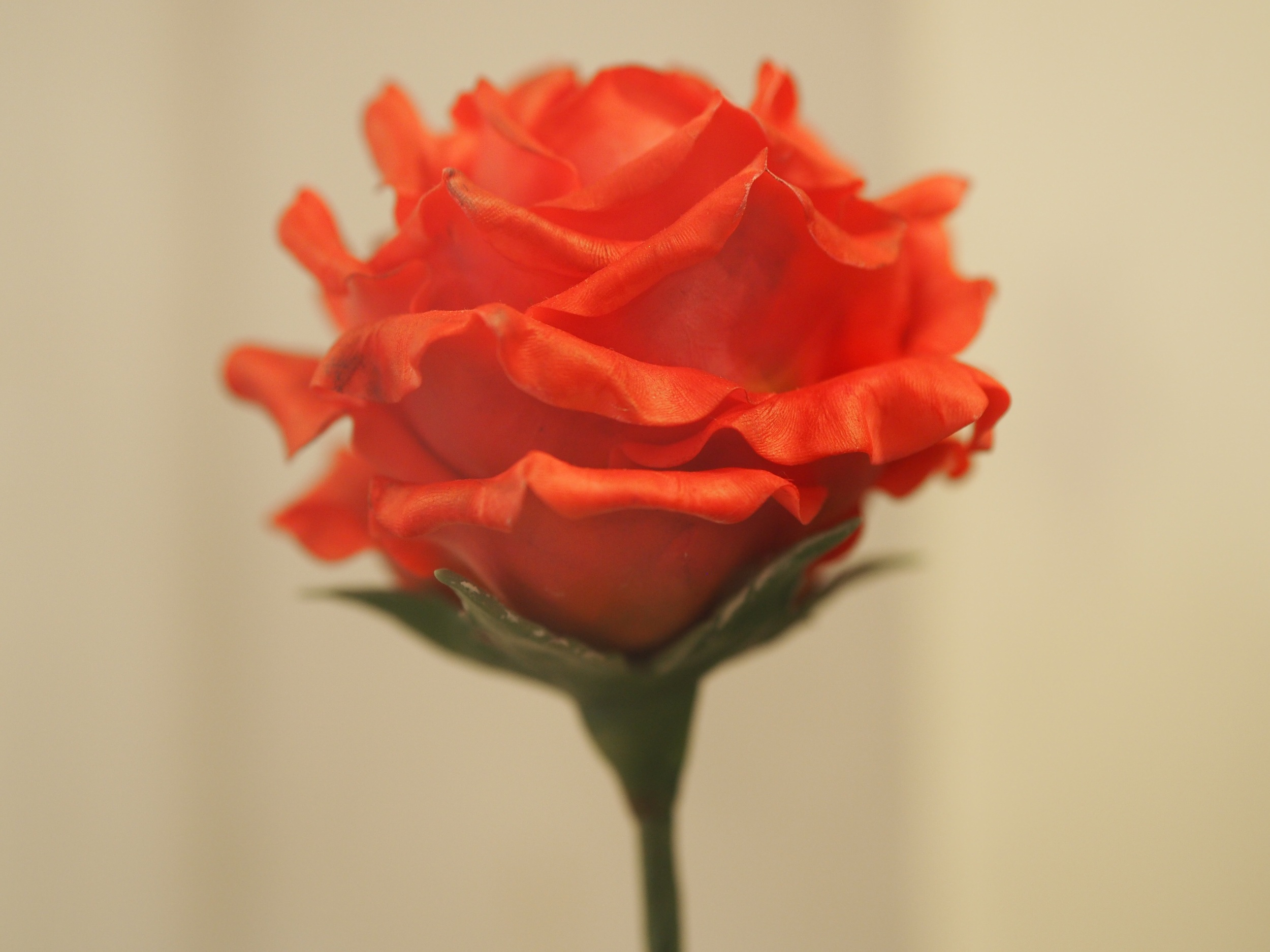 The Rose which seamed to symbolise his love for France