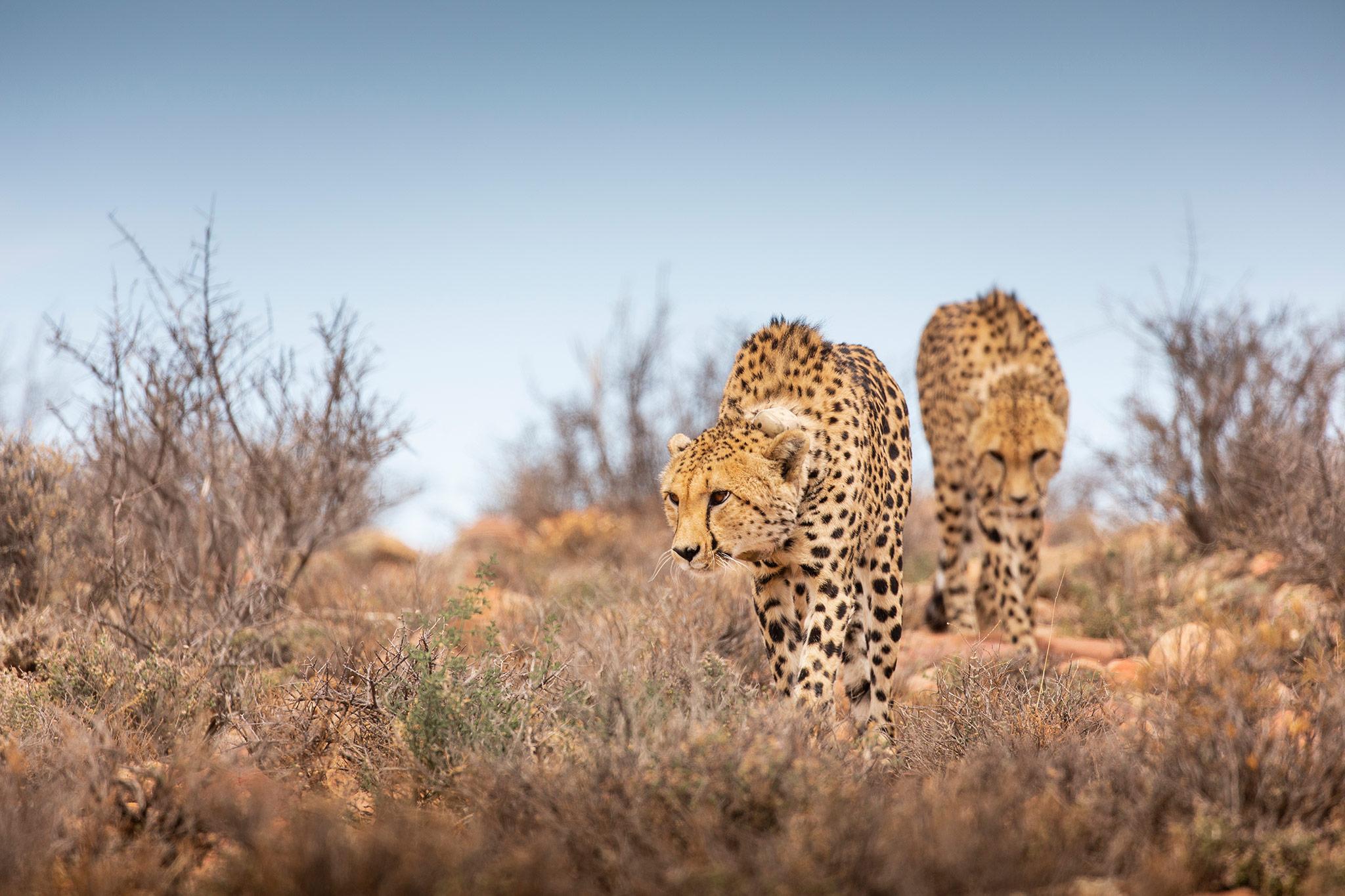 Cheetah_Roam_TCunniffe_073.jpg