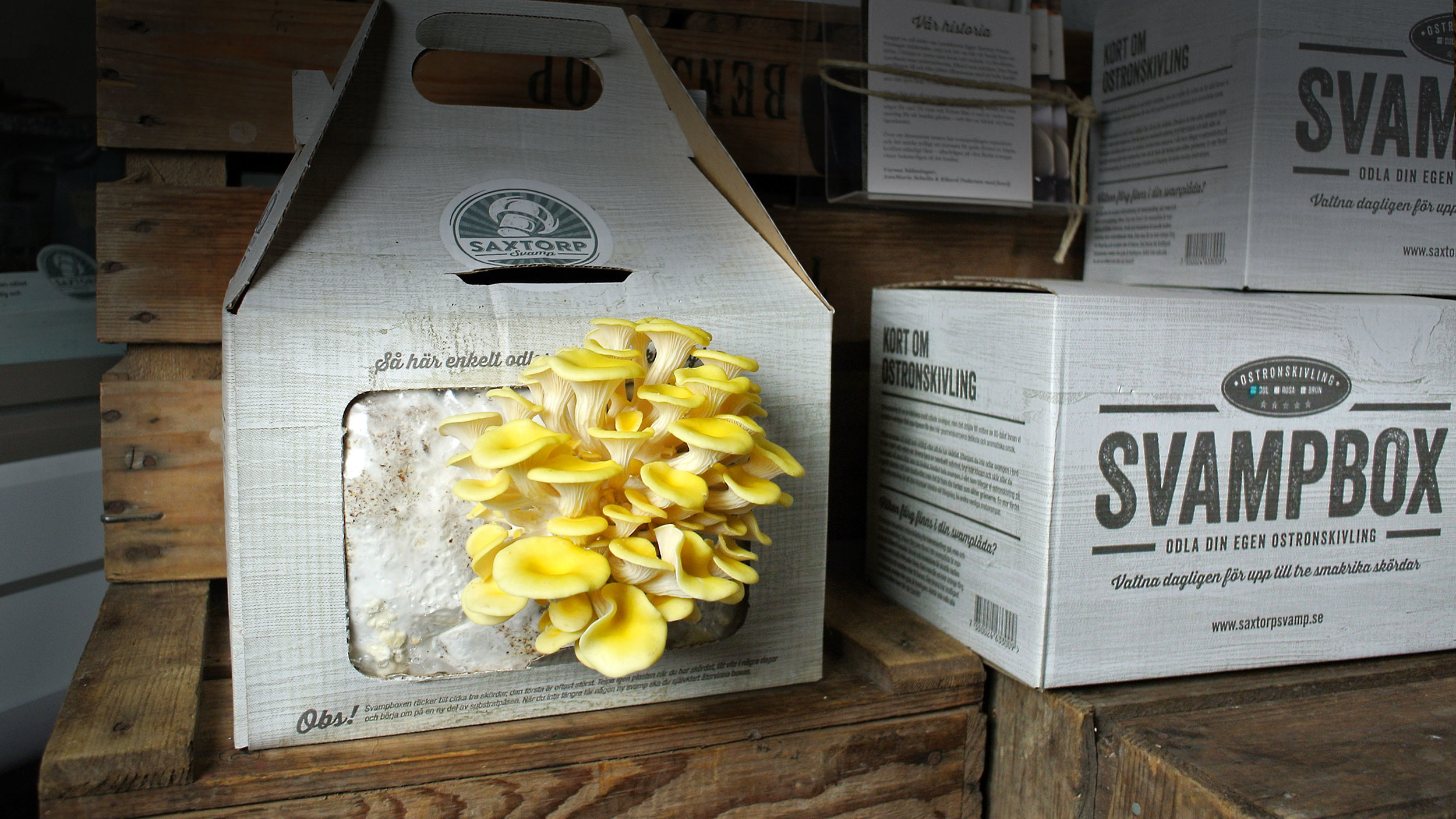 Gul ostronskivling i en svampbox från Saxtorp Svamp