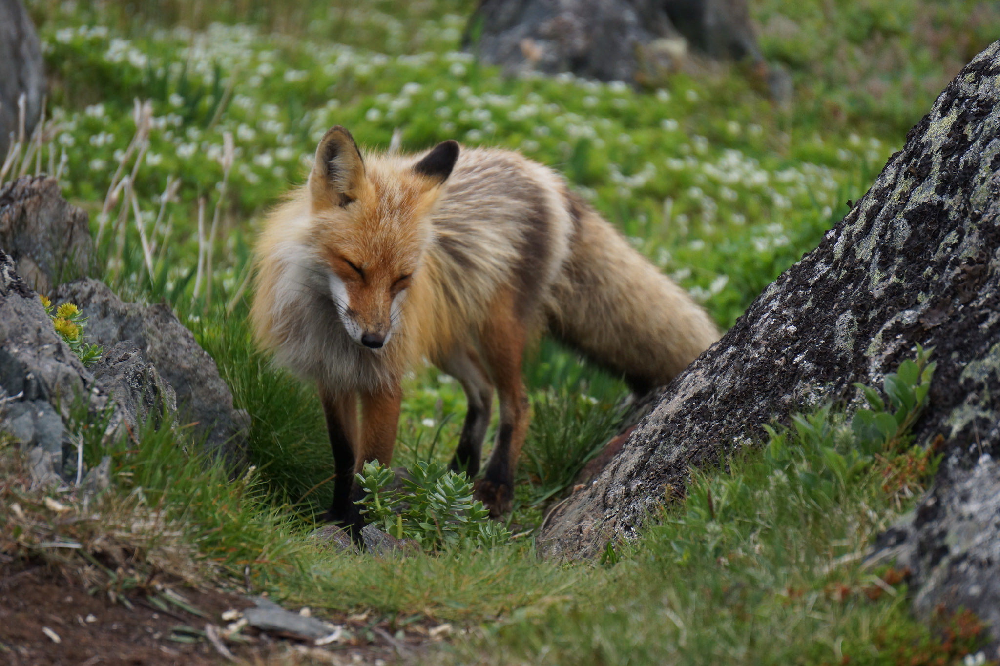 Fox mother at Quirpon Island