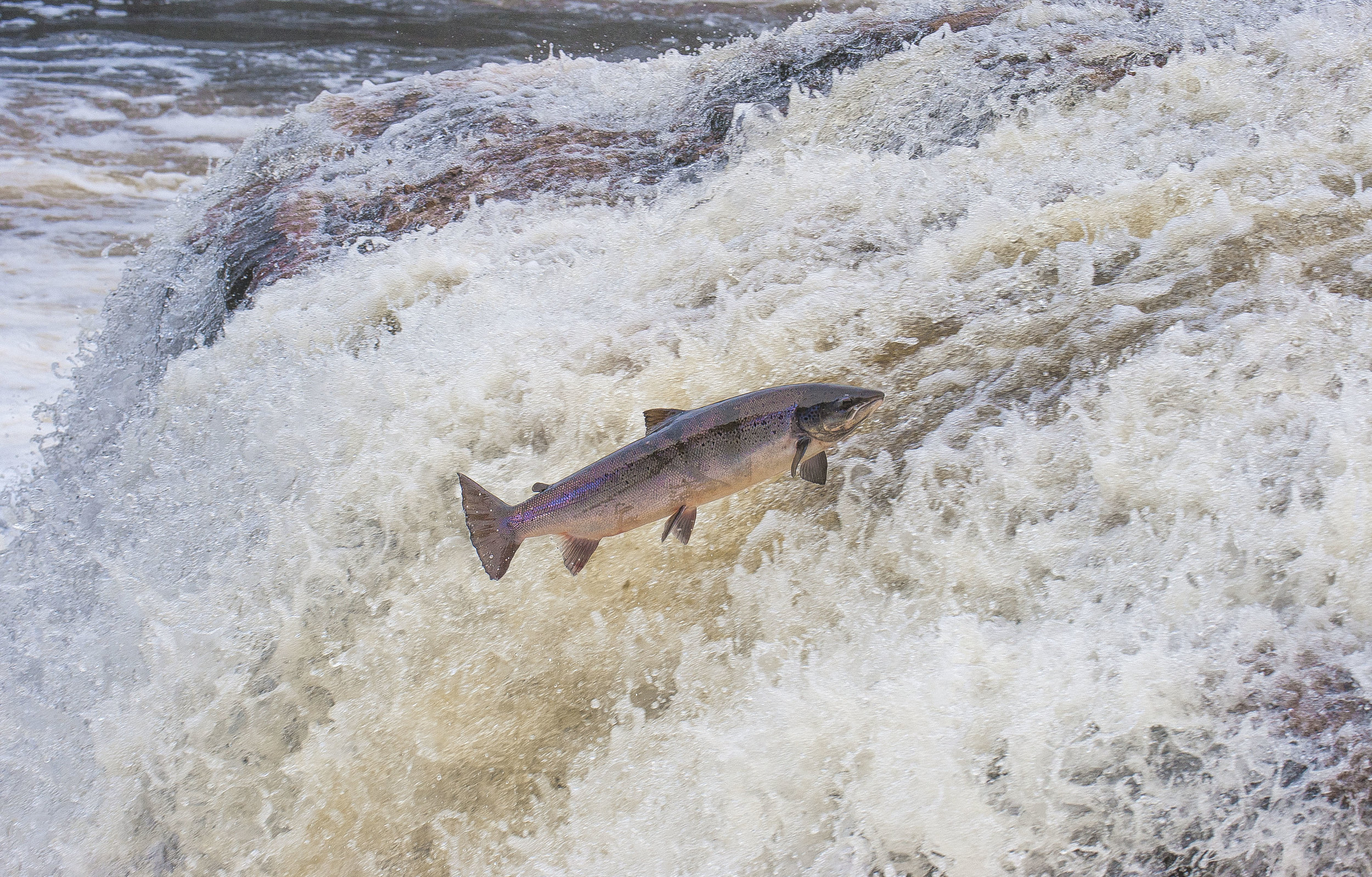 Big Falls salmon.jpg