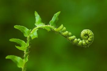 unfurling fern.jpg