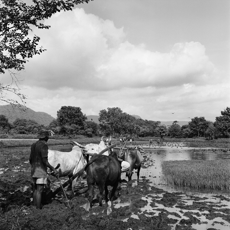 Irrigating Rice Fields- Revanda, India