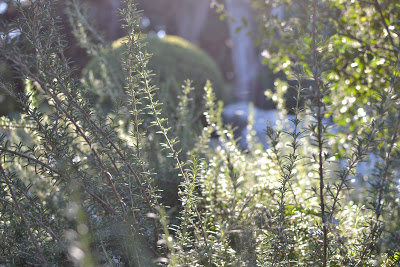 Wild rosemary in the sun. Looking good