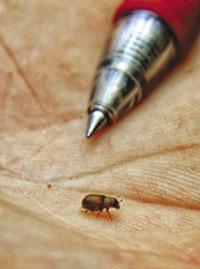 Pine beetles are TINY!
