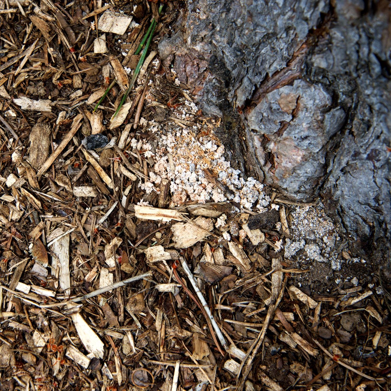 Frass at the base of Pinus sylvestris