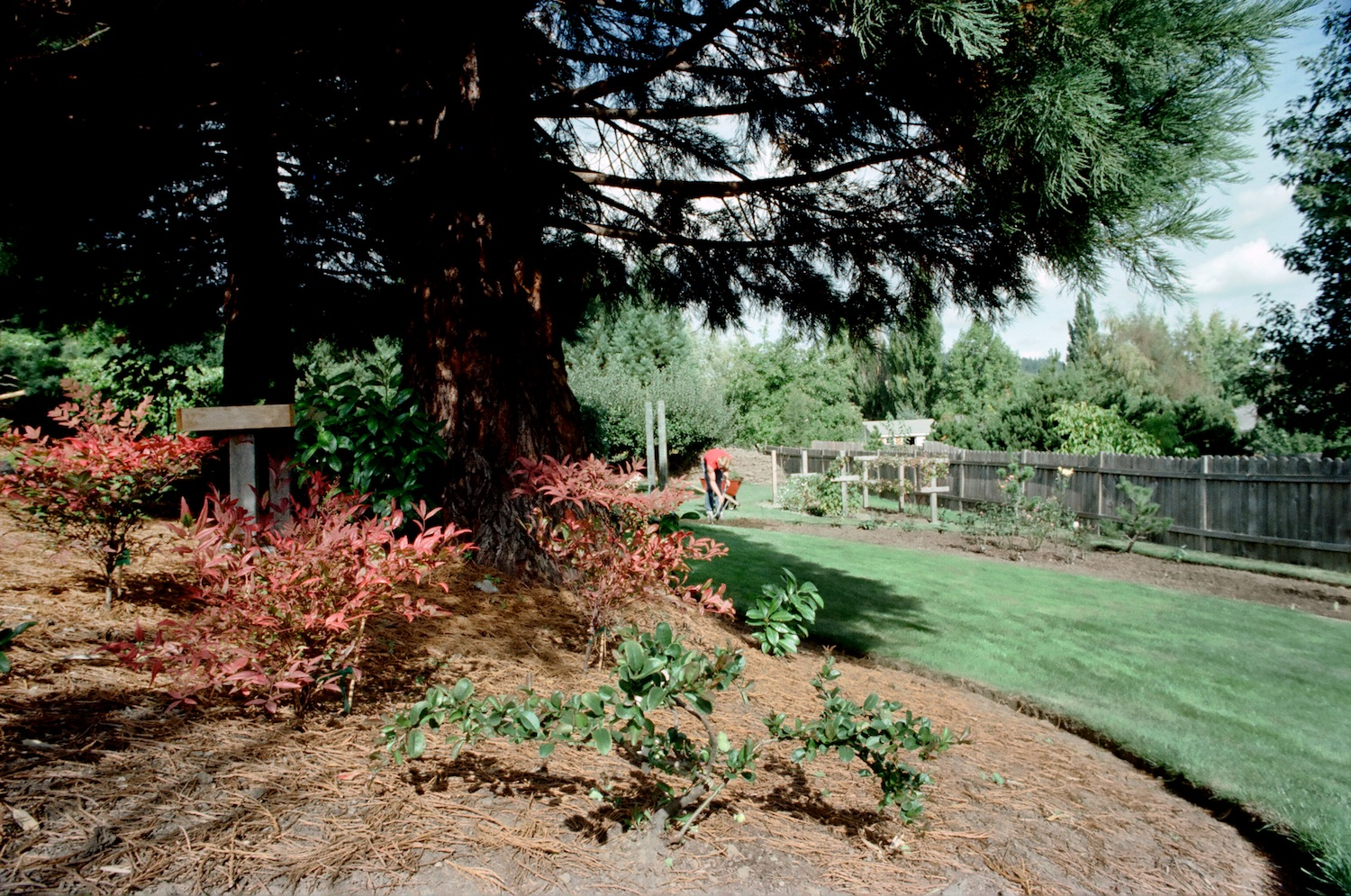 Under the sequoias, looking north into what is now the Lower Flat Garden.