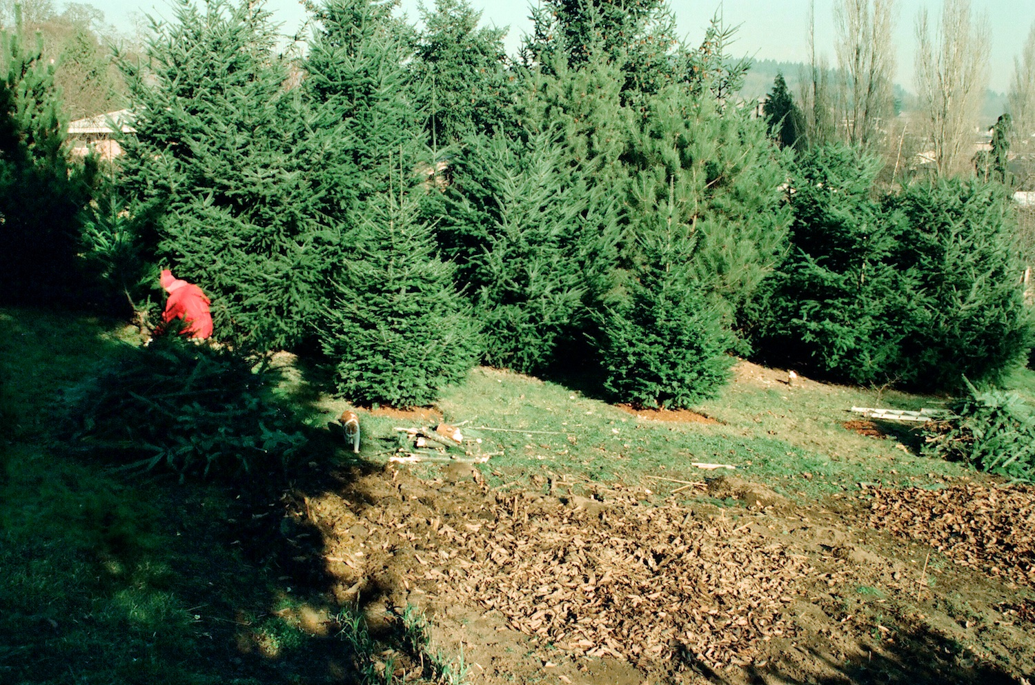 Ultimately, we removed and replaced all of the firs and pines near the north property line.