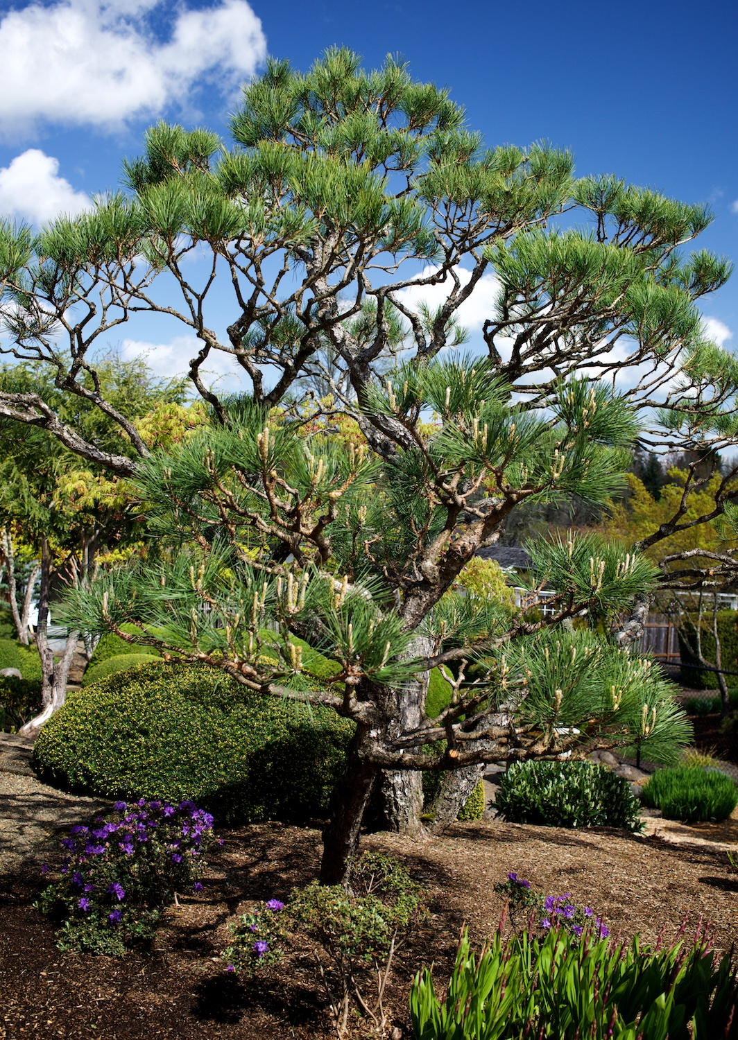 Japanese black pines (Pinus thunbergii) in the same bed today.