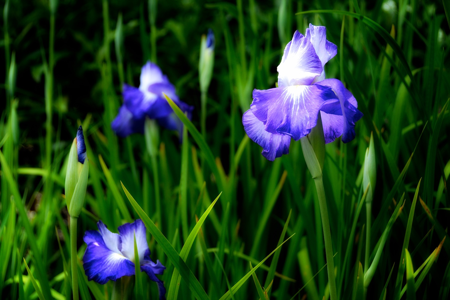 Japanese iris are late bloomers