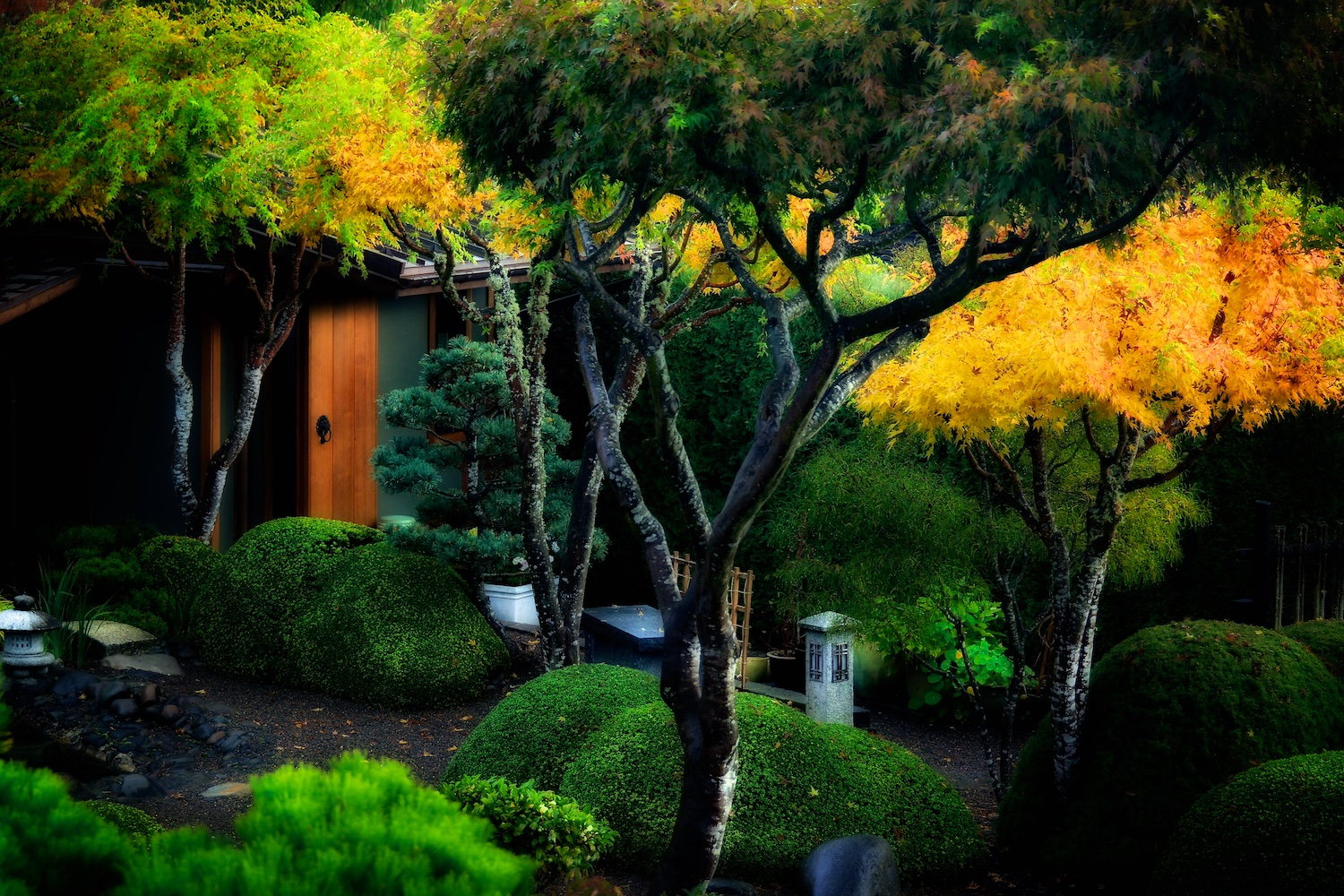 Japanese maples  Acer palmatum  'sango kaku' surrounding the tea house