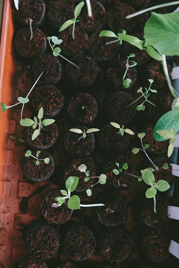 seedstarting_7.jpg