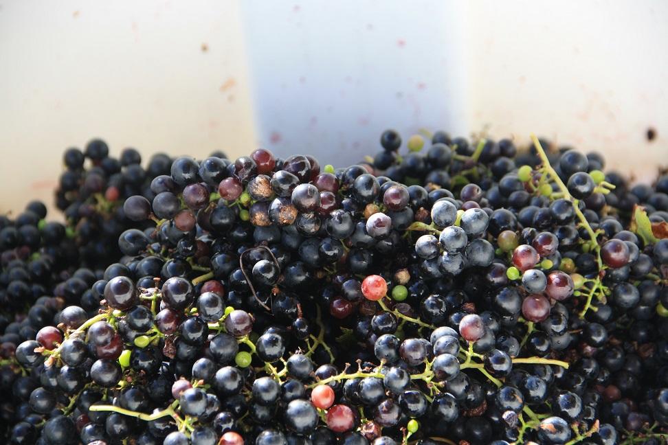 grapes-in-binweb.jpg