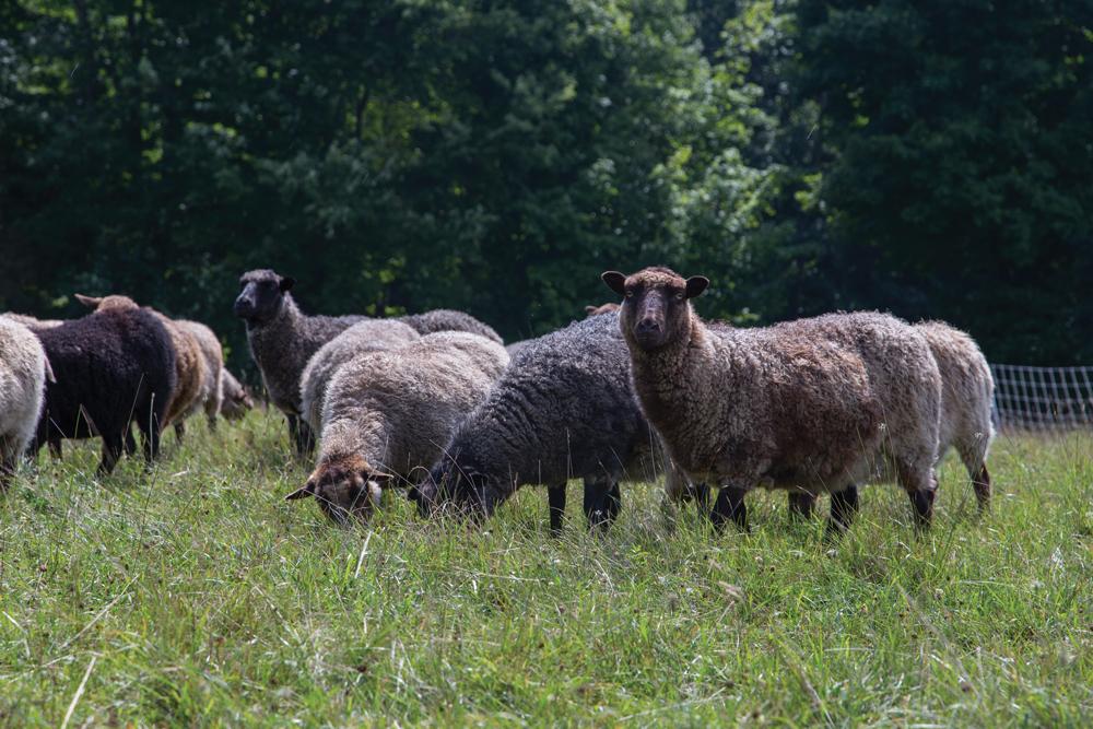bb_sheep_photo_by_B_Stachowski