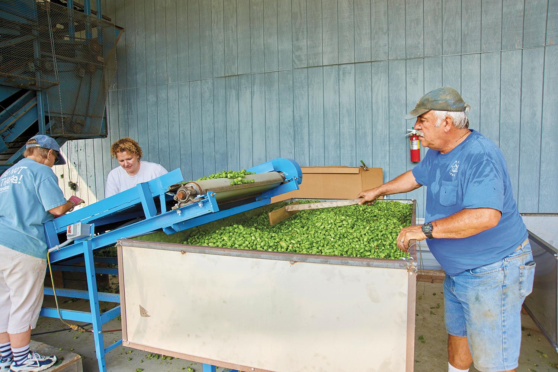 Bonnie, Liz, and Gene L'Etoile grading fresh hops at Four Star Farms