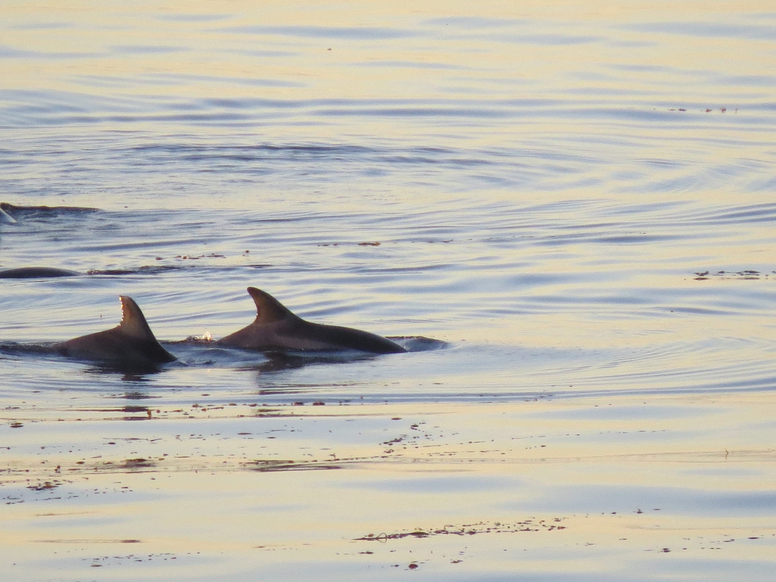 dolphins seen from paseo del mar