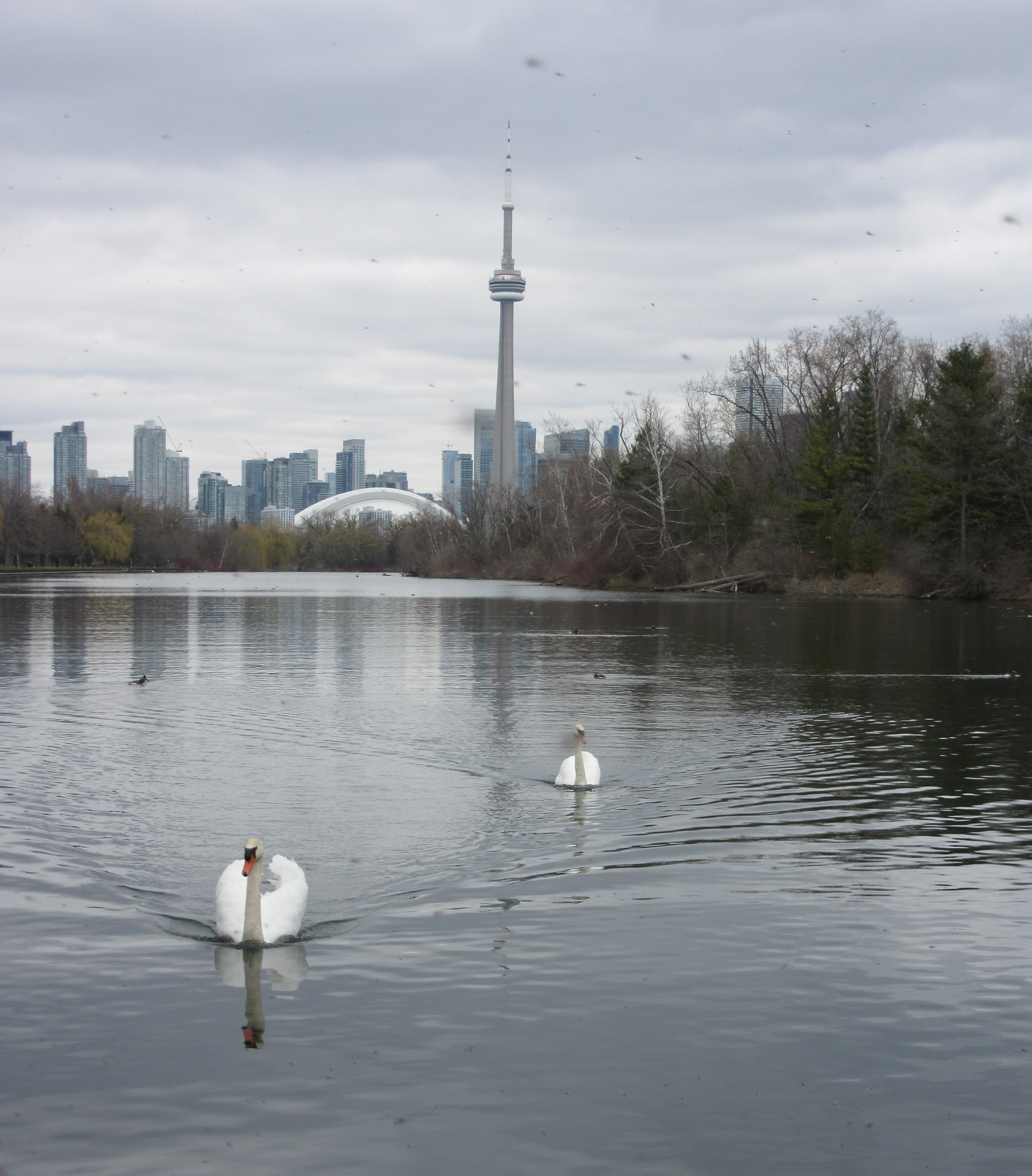 Swans and the Toronto Skyline