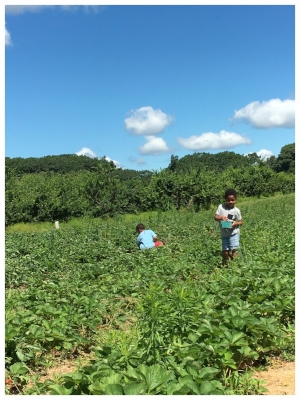 Summer 2017 Strawberry Picking