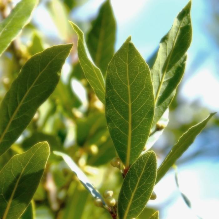 bay leaf 3.jpg