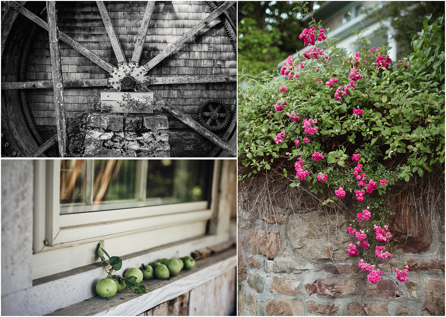 waterwheel at the mill  crab apples  cascading roses