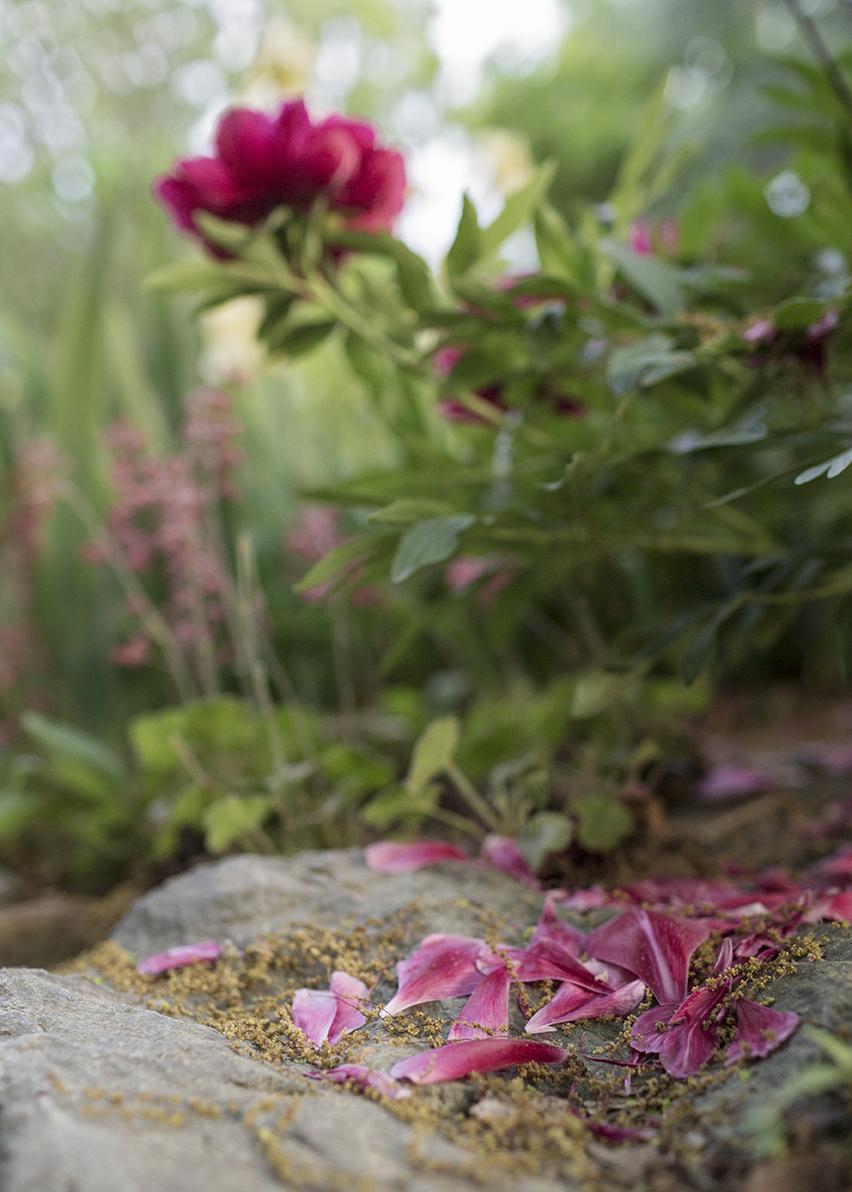 Peonies_Garden_0052_crop.jpg