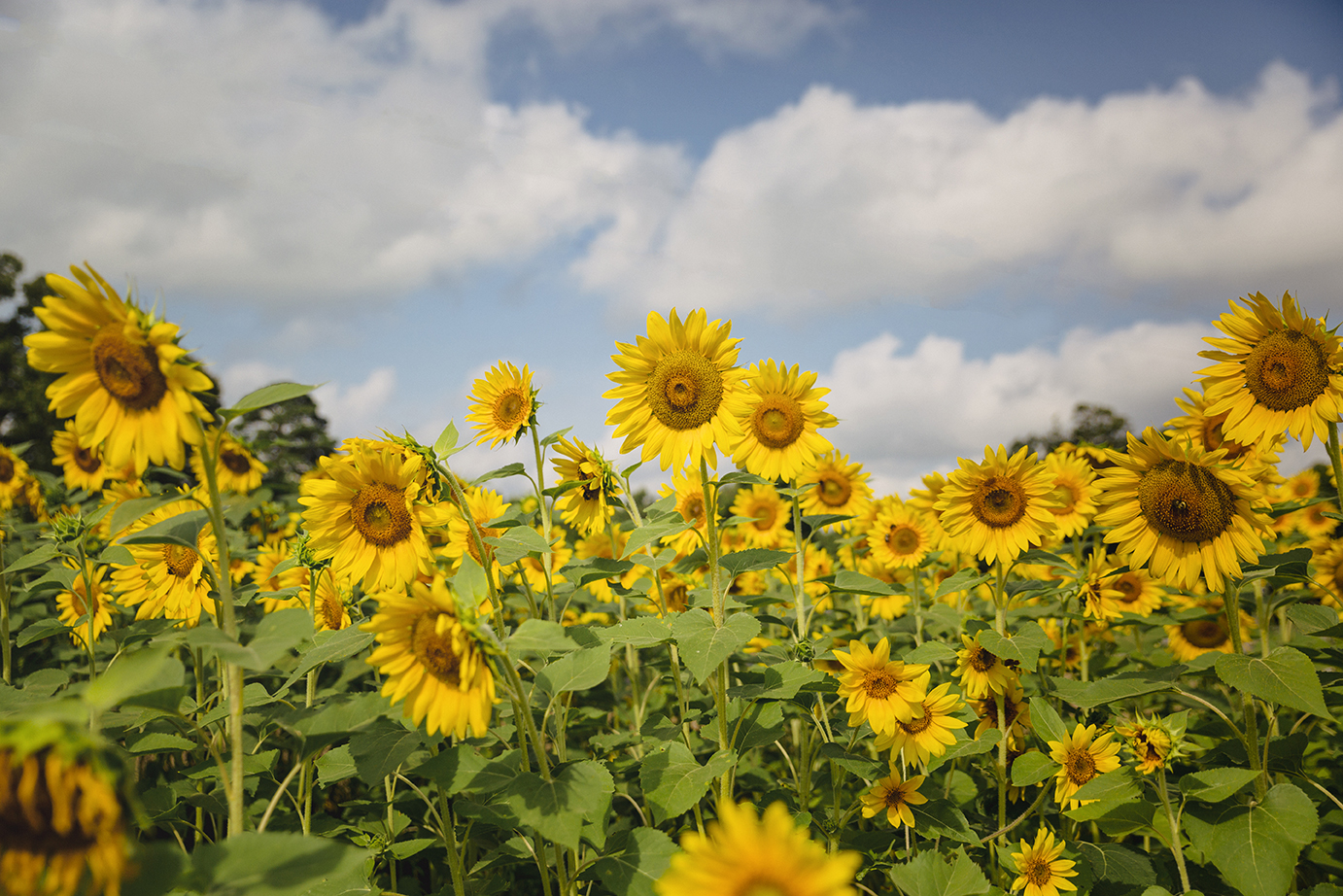 17 South, field of sunflowers