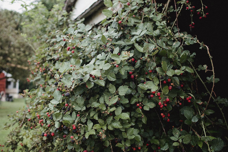 Blackberries_Shed_0017.jpg