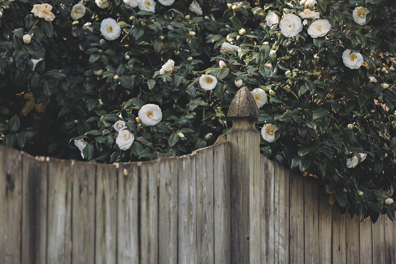 Camellias_Pink_White_0018.jpg