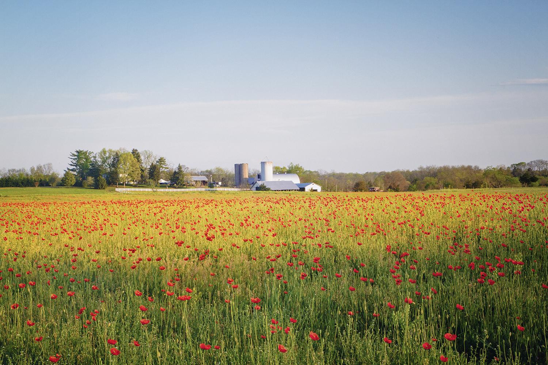 Field_Poppies_0005.jpg