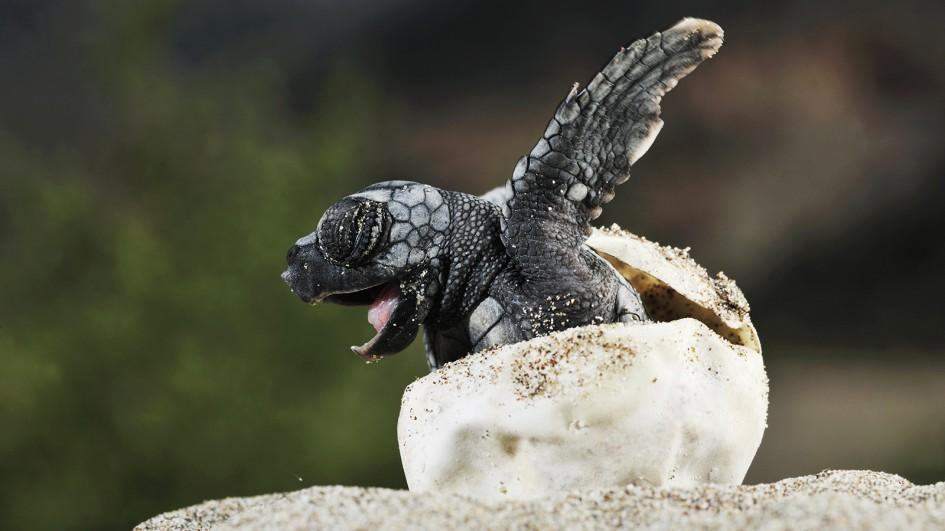 ww-baby-animals-sea-turtle.adapt.945.1.jpg