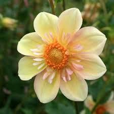 """Apple Blossom  - 4"""" Collarette"""
