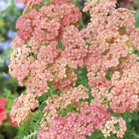 Yarrow 'Apricot Delight'