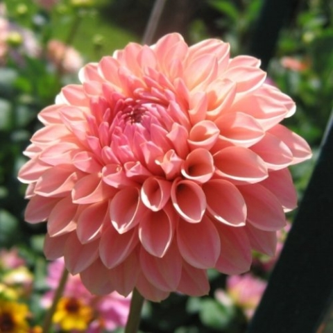 Dahlia 'Doris Duke'