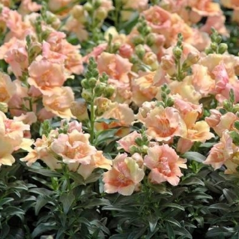 Snapdragon 'Chantilly Light Salmon'