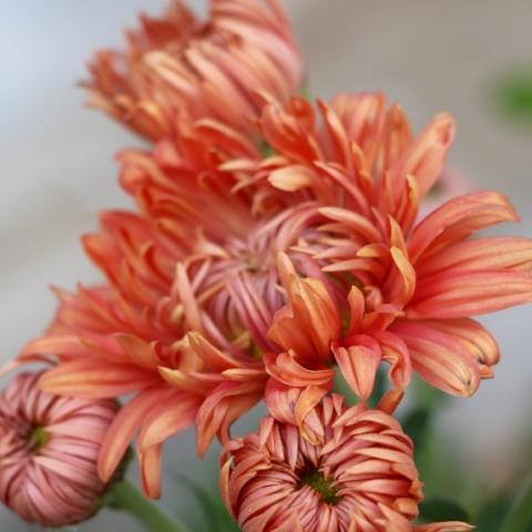 Chrysanthemum 'Coral Charm'