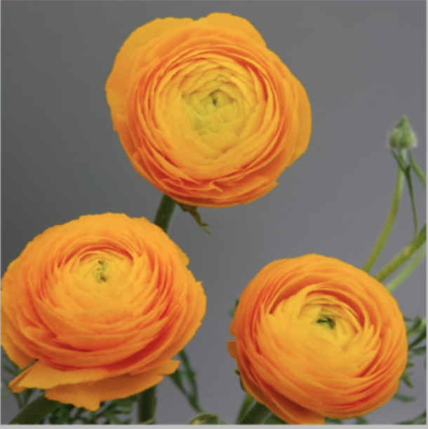 Ranunculus 'La Belle Gold'