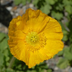 Iceland Poppy 'Champagne Bubbles Yellow'