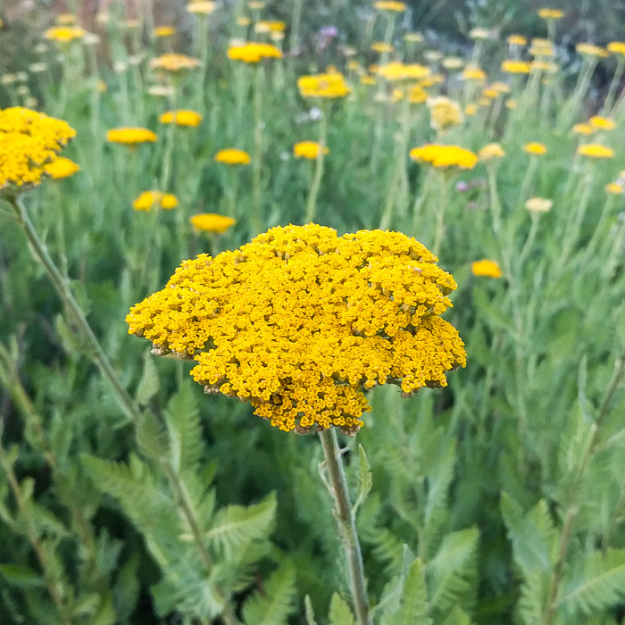 *Yarrow 'Parker's Gold'