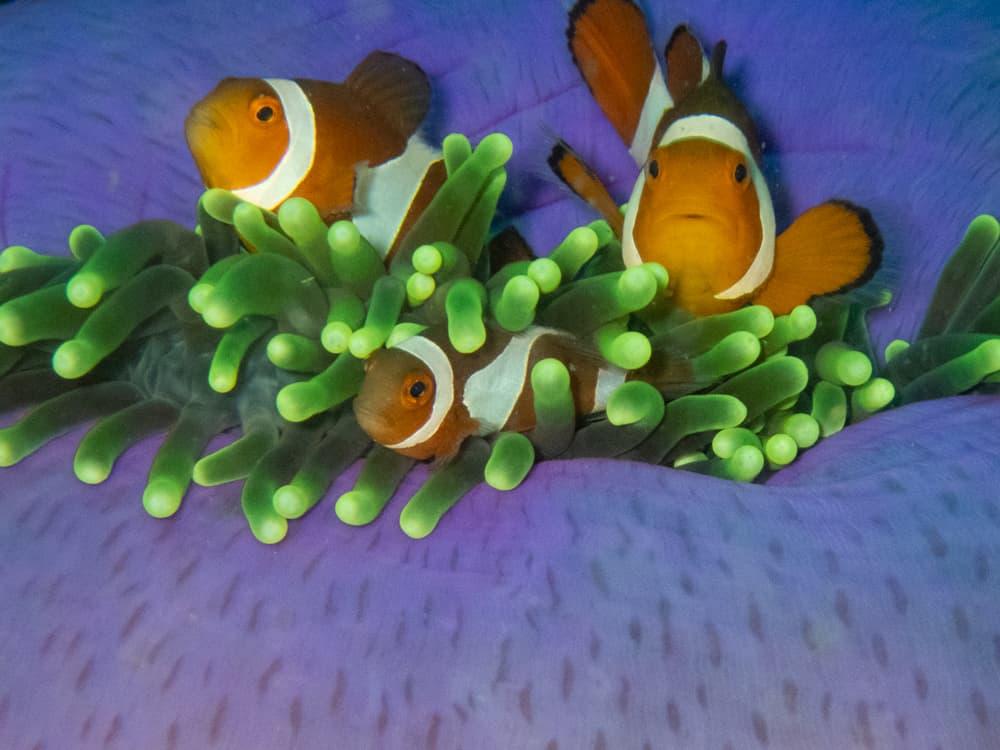 clown fish 3.jpg