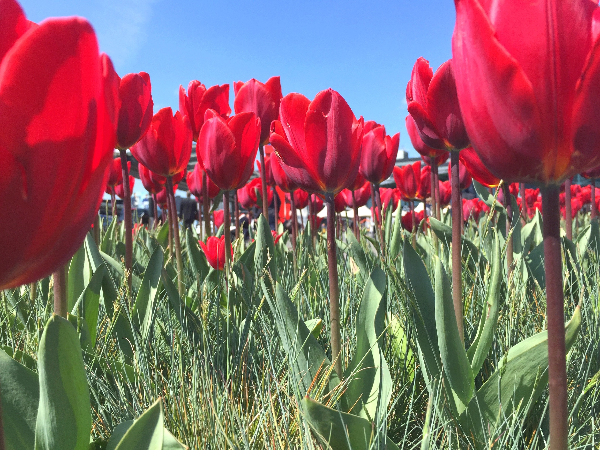 Tulips in Amsterdam, taken with iPhone 6Plus