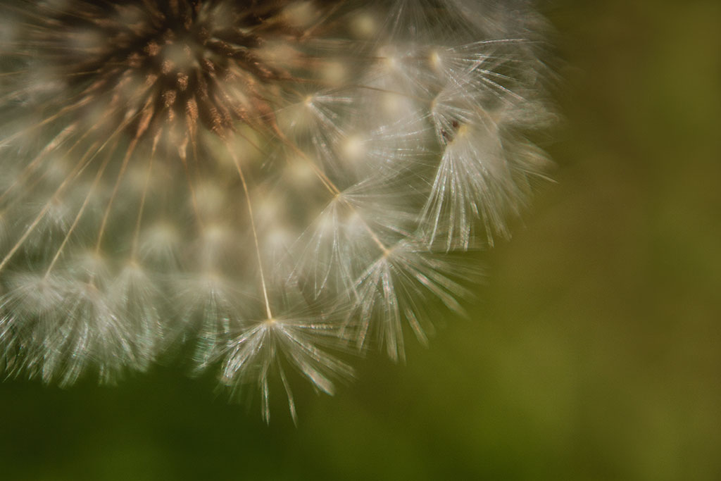 Photography-inspiration-macro-dandelion-by-Atlanta-photographer-Chanel-French