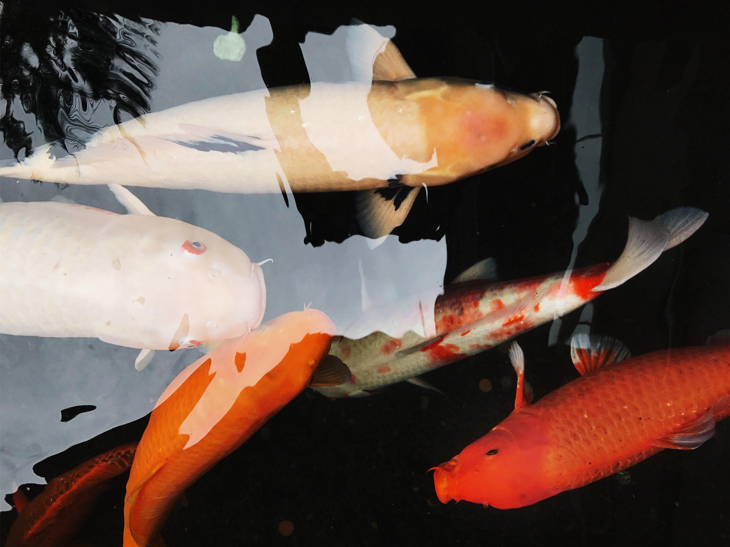 Hawaii-trip-koi-fish-by-Atlanta-photographer-Chanel-French-22