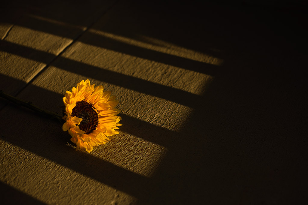 Sunflower-laying-in-light-and-shadows-by-Atlanta-photographer-Chanel-French